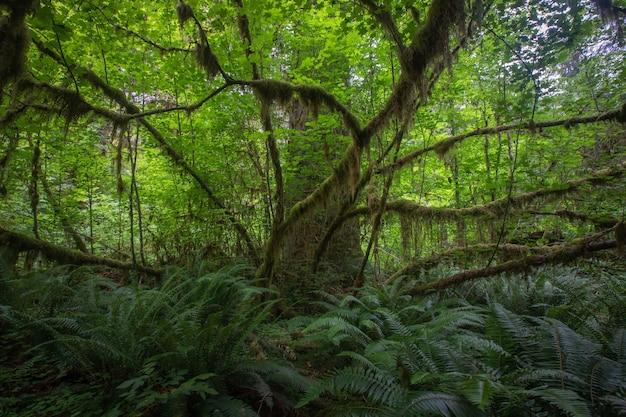 Forêt tropicale au hall of mosses au parc national olympique à washington