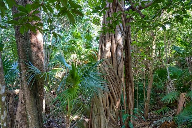 Forêt tropicale jungle sur la riviera maya au mexique