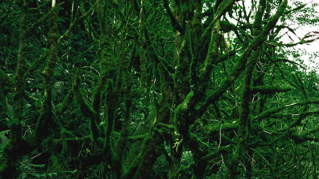 Forêt tropicale tempérée ancienne, jungle géorgienne - arbres dans la mousse