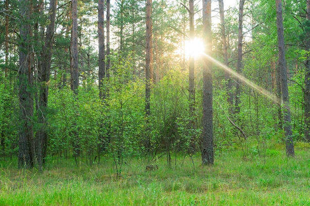 Forêt verte de pins d'été avec soleil brillant