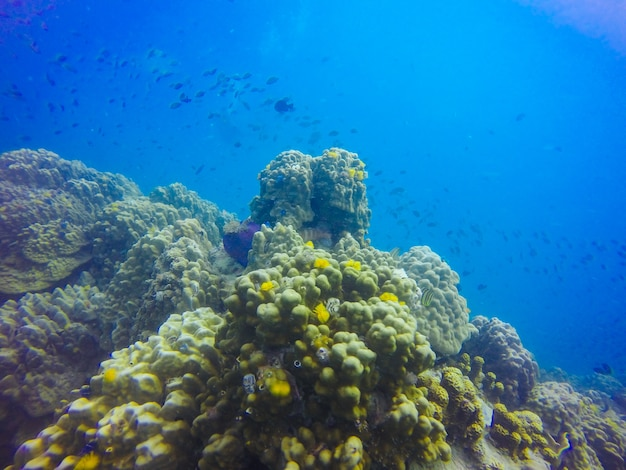 Formation de jeunes récifs coralliens sur le fond de la mer de sable. vue en perspective de la mer bleue profonde avec de l'eau propre et la lumière du soleil. vie marine avec des animaux et des plantes. photo sous-marine de la barrière de corail dans le lagon tropical bleu