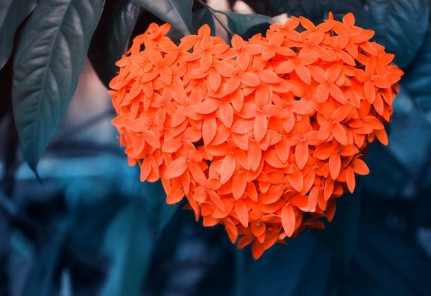 Forme de coeur de jasmin des indes occidentales