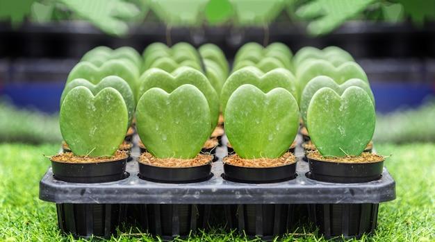 Forme de coeur vert de cas de cactus hoya en pépinière