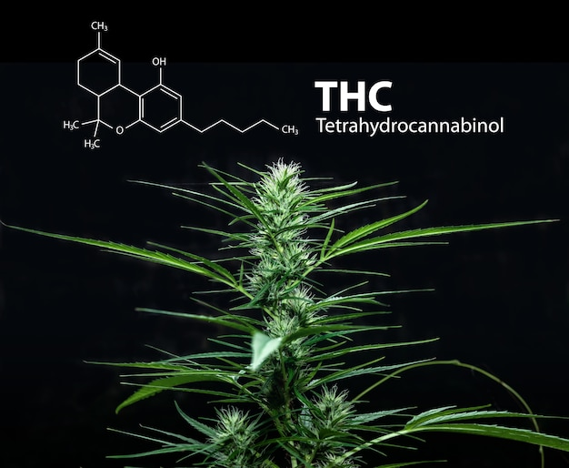Formule de molécule de tétrahydrocannabinol ou thc avec de la marijuana, du cannabis sativa.