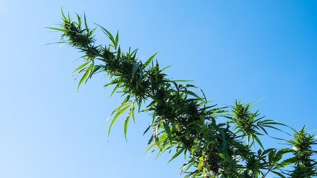 Fort un bourgeon de cannabis mature dense et moelleux poussant en plein champ sur le fond du ciel