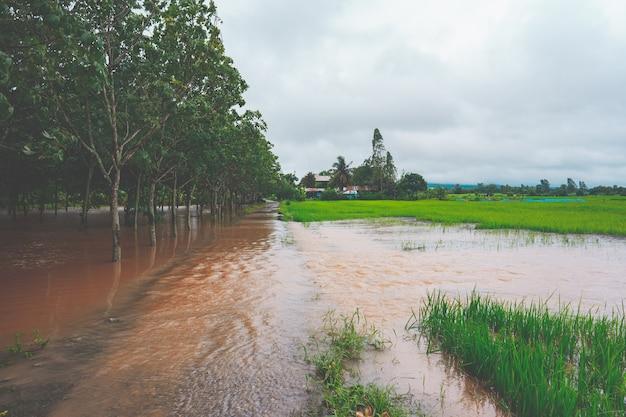 Forte inondation dans la rizière rurale ou rurale