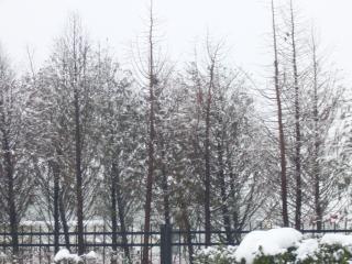 Fortes chutes de neige dans les pins, blanc