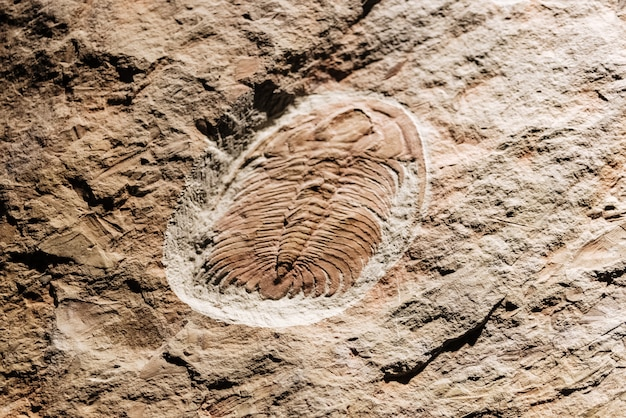 Fosil d'un eccaparadoxides bien préservé.