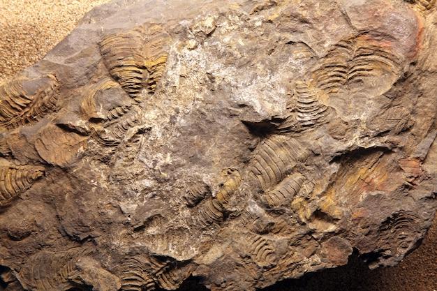 Fossile de dinosaure.