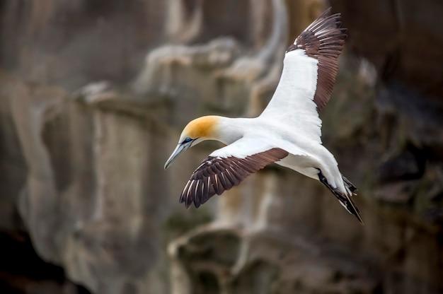Fou de bassan. muriwai gannet colony nouvelle-zélande