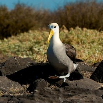 Fou de nazca (sula granti), punta suarez, île d'espanola, îles galapagos, équateur