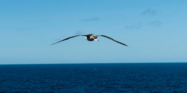Fou de nazca (sula granti) survolant l'océan pacifique, punta suarez, île d'espanola, îles galapagos, équateur