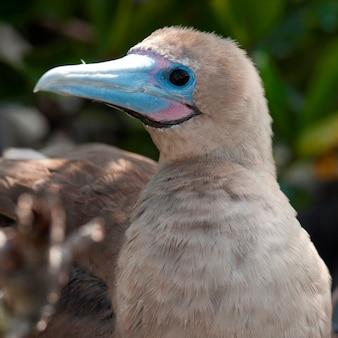 Fou à pieds rouges (sula sula), île de genovesa, îles galapagos, équateur