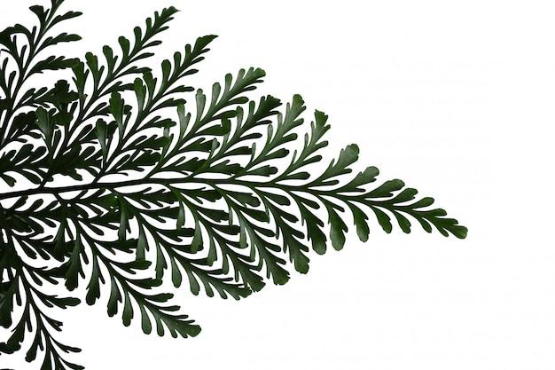 Fougère close-up, feuilles laisse fond blanc isolé.