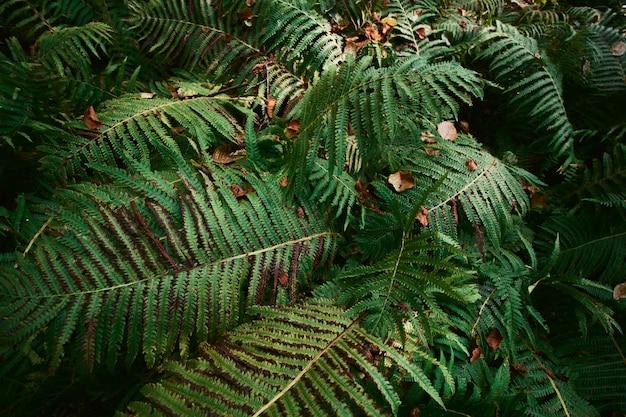 Fougère grandes feuilles