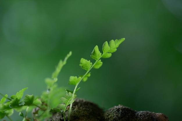 Fougère de mise au point sélective sur le rocher avec un feuillage lumineux de mousse verte avec un fond vert naturel