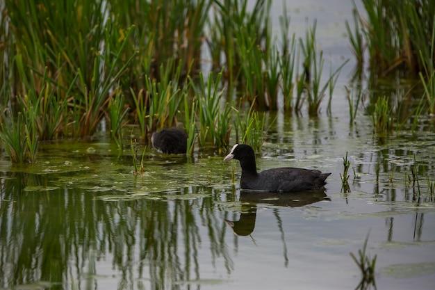 Foulque eurasienne (fulica atra) dans la réserve naturelle des aiguamolls de l'emporda, espagne.