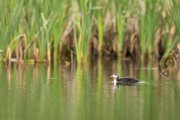 Foulque macroule, fulica atra, un jeune oiseau nageant seul dans un cadre verdoyant dans un étang.