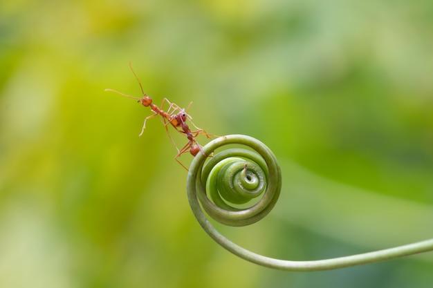 Fourmi marche sur spirale plante