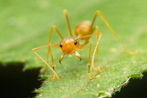 Fourmi rouge ou fourmi verte sur la feuille verte, fermé vers le haut, macro