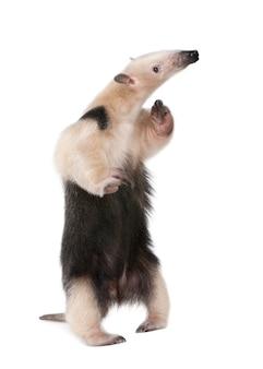Fourmilier à collier- tamandua tetradactyla sur un blanc isolé