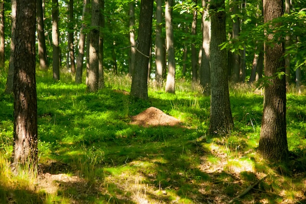 Fourmilière solitaire dans les bois des sudètes, pologne