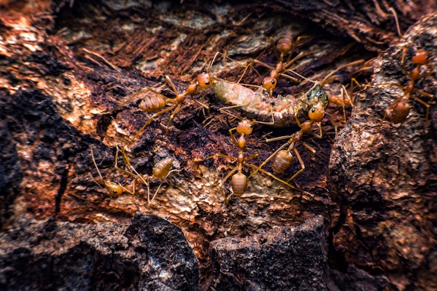 Les fourmis rouges déplacent les vers vers son nid.