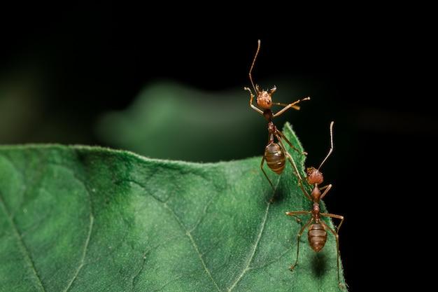 Fourmis rouges sur les feuilles