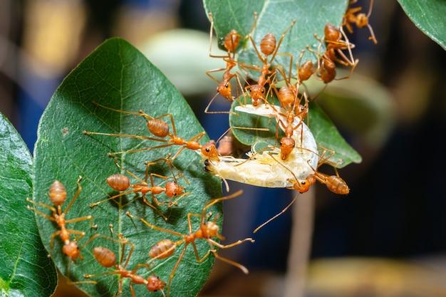 Les fourmis rouges s'envoient de la nourriture