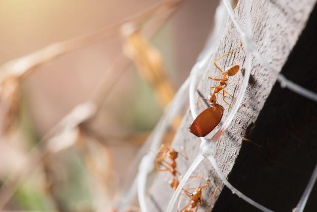 Les fourmis transportent leurs proies alimentaires jusqu'au nid.