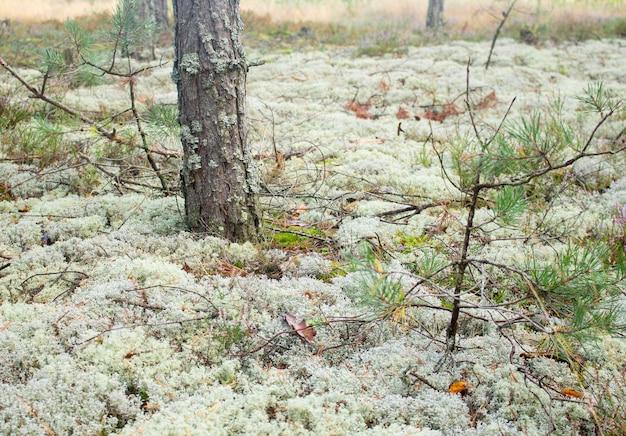 Fourré dans une forêt dense. fond de forêt moussue. mousse de forêt.