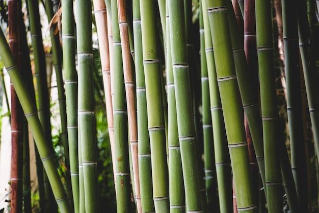 Fourrés de bambou vert