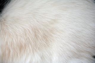 Fourrure blanche