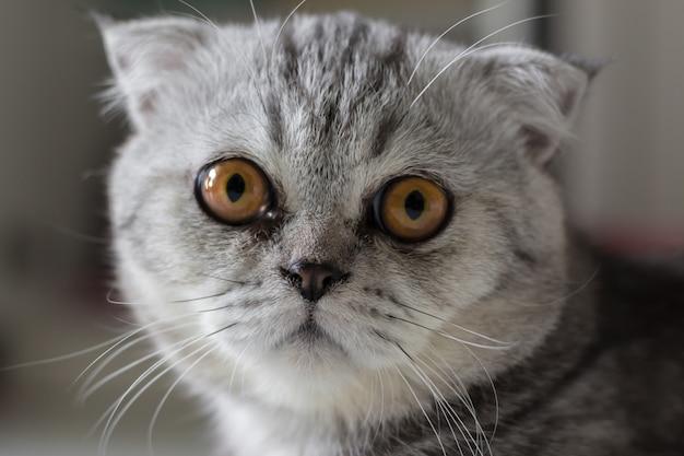 Fourrure de chat écossaise grise à rayures noires.
