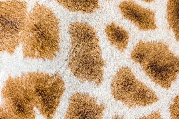 La fourrure d'une girafe en gros plan