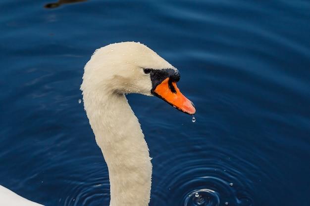 Fourrure humide et plumes d'une tête de cygne blanche.