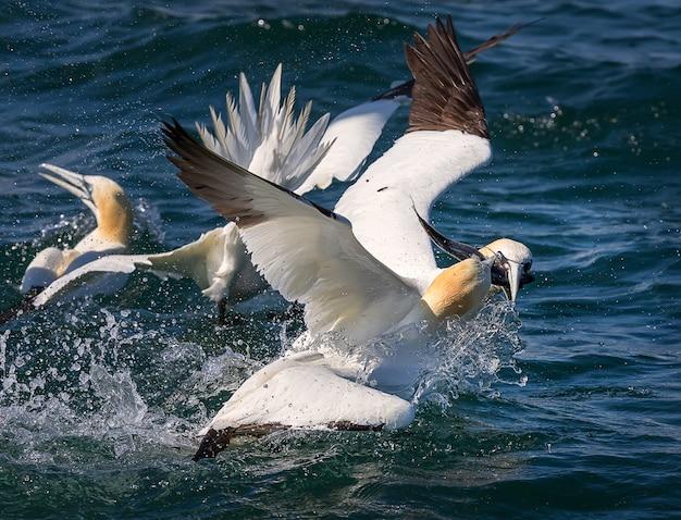 Fous de bassan la pêche en mer du nord, bempton cliffs uk