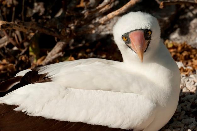 Fous de nazca (sula granti), baie de darwin, île genovesa, îles galapagos, équateur