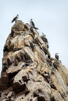 Fous péruviens sur un rocher aux îles ballestas près de paracas au pérou