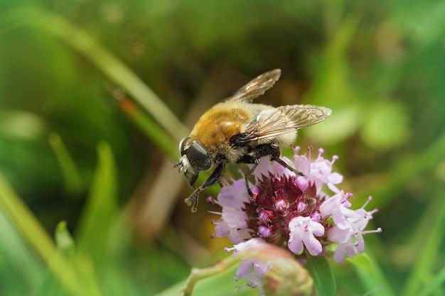 Foyer peu profond d'une mouche de bulbe de narcisse sur une fleur