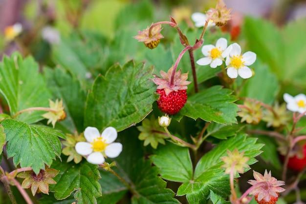 Fragaria vesca ou fraise des bois dans la verdure