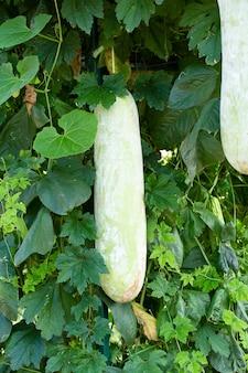 Frais de melon vert d'hiver sur l'arbre
