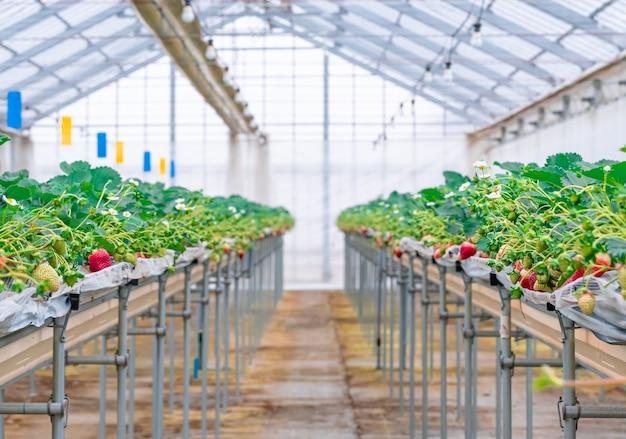 Fraise biologique saine rouge dans une plantation fermée
