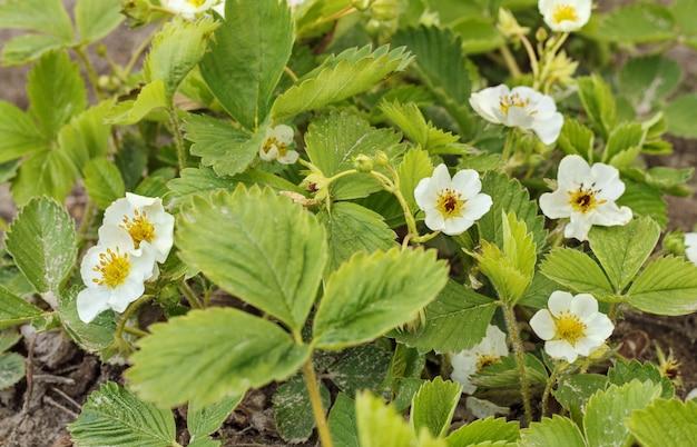 Fraise sauvage avec floraison, faible profondeur de champ. fraises en croissance au jardin, éclairées au soleil.
