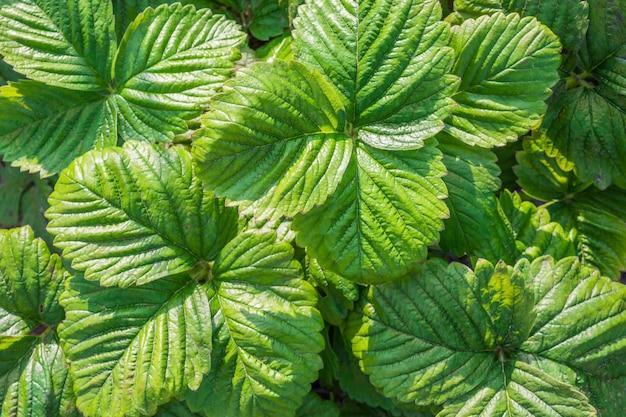Fraise verte feuilles gros plan, fond floral