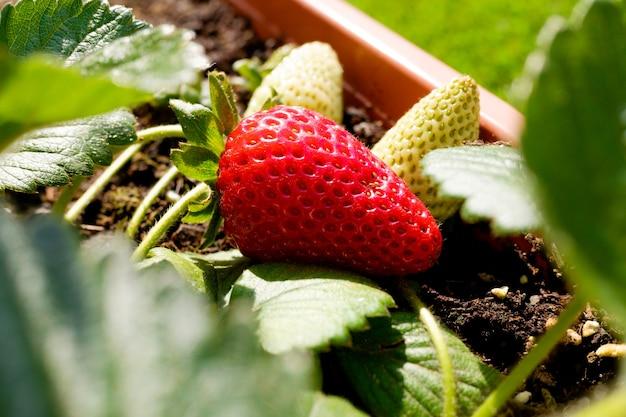 Fraises cultivées en pot dans un jardin urbain, à moitié mûres.