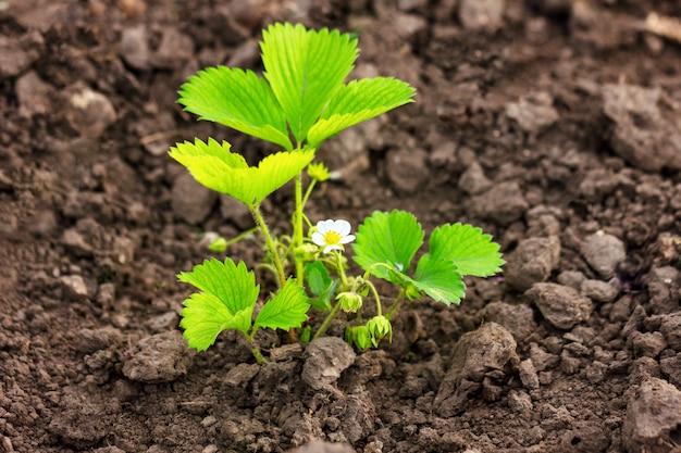 Les fraises en fleurs poussent dans le sol