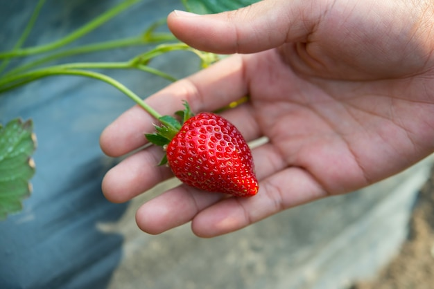 Fraises fraîches cueillies à la main dans une ferme à la fraise.