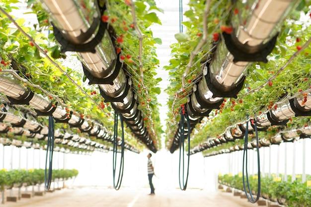 Fraises fraîches cultivées dans des serres
