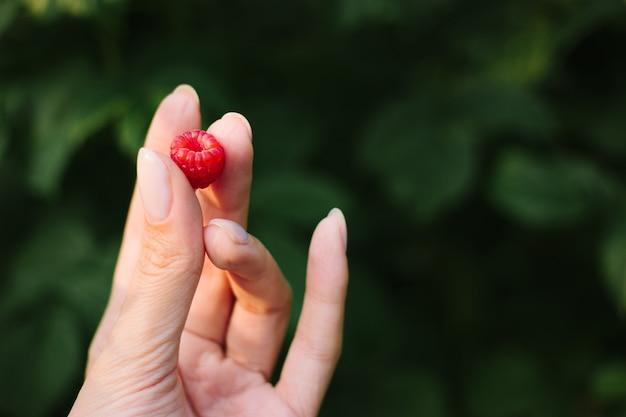 Framboise dans une main, vue rapprochée